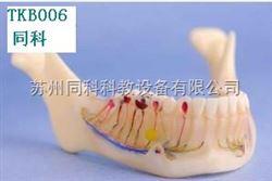 TKB006下颚骨解剖模型