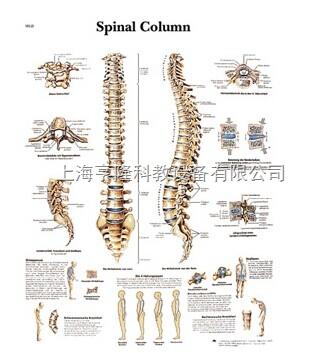 新Spinal Column - Anatomy and Pathology