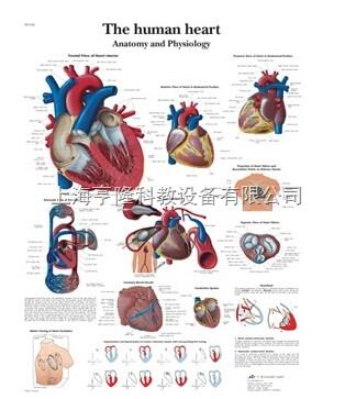 新The human heart - Anatomy and Physiology