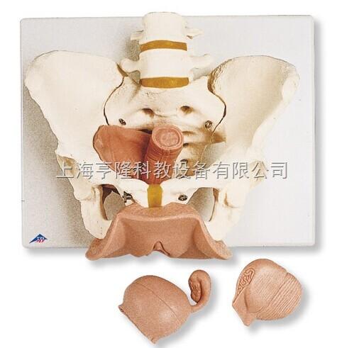新女性骨盆带生殖器官模型