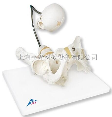 新婴儿出生演示骨盆模型