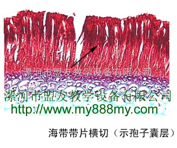 优质植物切片-图为海带带片横切(示孢子囊层)