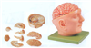 GD/A18219头部附脑和动脉模型