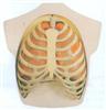 GD/A13008呼吸系统模型